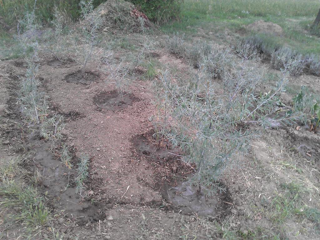 Frissen ültetett homoktövis növények