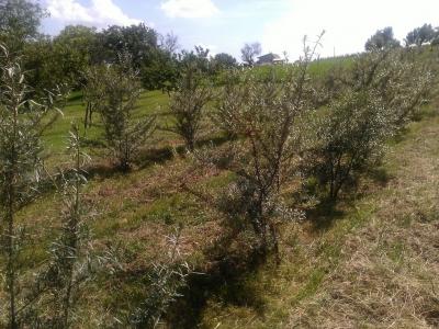 Homoktövis ültetvény Homoktövis Majorban